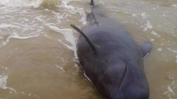"""Quảng Ngãi: Nỗ lực giải cứu cá """"Ông Chuông"""" nặng 500kg bất thành"""