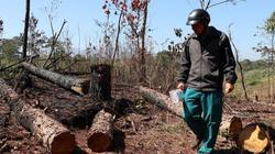 """Ảnh: Hàng trăm cây thông bị """"giết chết"""" ở huyện nào tỉnh Lâm Đồng?"""