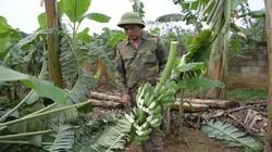 Hưng Yên: Nông dân tự chặt bỏ hàng nghìn gốc chuối