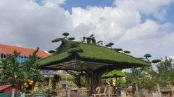 Kiệt tác cây sanh tạo dáng mái đình, ai cùng trầm trồ thán phục