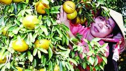 Kiến vàng - thiên địch lợi hại của vườn tược