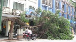 Cận cảnh cây cổ thụ gãy đôi, phơi mình trên phố