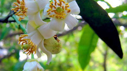 Tinh khiết mùa hoa bưởi tiết giao mùa...