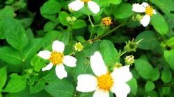 Hoa Xuyến Chi - xao xuyến những nẻo quê…