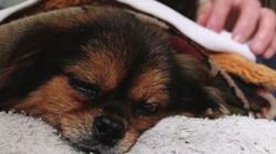 Cảm động chú chó tuyệt thực tới chết vì nhớ chủ