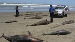 Hàng loạt cá heo chết bí ẩn tại Peru