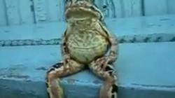 Ếch ung dung ngồi ghế đá như người