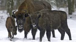 Giết cả đàn bò rừng hoang dã vì bệnh lao