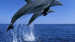 Cá heo nhảy nhót trên mặt biển để... tập thể dục