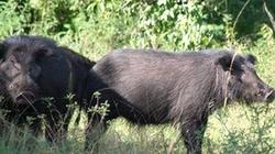 Heo rừng quý hiếm đột nhiên xuất hiện ở Cà Mau