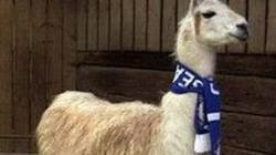 Ngộ nghĩnh chú la dự đoán Chelsea vô địch