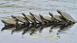 """7 chú rùa cắn đuôi nhau, """"nhảy ba lê"""" giữa hồ"""