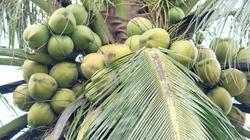 Bình Định: Diện tích dừa giảm mạnh