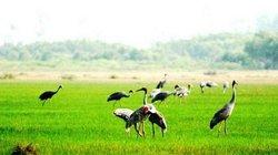 Tràm Chim là khu Ramsar của thế giới
