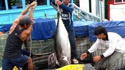 Quảng Ngãi: Ngư dân trúng đậm cá ngừ