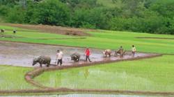 3 giống lúa mới có giá trị kinh tế cao