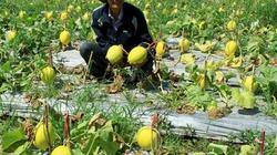 Kỹ thuật trồng dưa lê cho năng suất cao