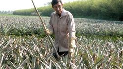 Thương lái Trung Quốc mua dứa xanh biến mất