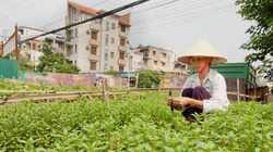 Hà Nội chi 2 tỉ đồng bảo tồn đặc sản húng Láng