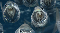 """Đàn cá """"ma"""" hiền lành trong lòng biển"""