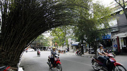 Bụi tre già hơn nửa thế kỷ ở Thủ đô bật tung gốc
