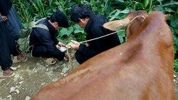 Dắt trộm bò đi bán vì thua cá độ