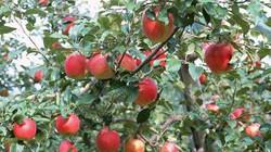 Nhật, Indonesia ngưng nhập khẩu táo Trung Quốc
