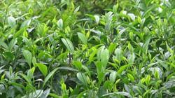 Chè Yên Bái giảm 40% sản lượng