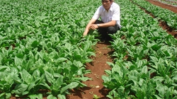 Lãi 300 triệu đồng mỗi ha rau VietGAP