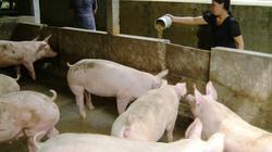 Cách phòng và điều trị bệnh lở mồm long móng ở lợn