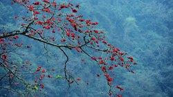 Hoa gạo nở đỏ rực làng quê