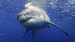 """Cá mập trắng """"nhịn sex"""" khi mang thai"""