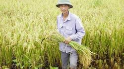 4 giống lúa mới cho miền Trung và Tây Nguyên