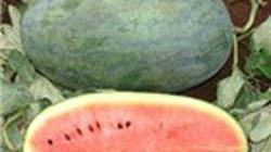 Nông dân đổ xô trồng dưa hấu