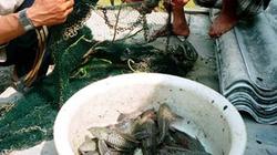 Bạc Liêu:  Cá lau kiếng  xuất hiện dày đặc