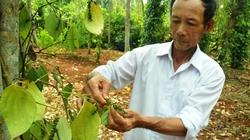 Quảng Trị: Dịch bệnh phá tan nhiều vườn tiêu