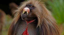 """Phát hiện loài khỉ… biết """"nói tiếng người"""""""