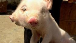 Hiếu kỳ đi xem lợn dị dạng hai đầu