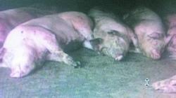 Trung Quốc: Xác lợn và chó chết không phải do H7N9