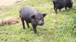 """Thưởng thức lợn """"cắp nách"""" Lào Cai"""