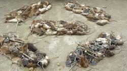 Nhiều phương pháp diệt trừ lũ chuột
