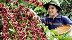 Bón phân ĐYT NPK Văn Điển chuyên dùng cho cây cà phê