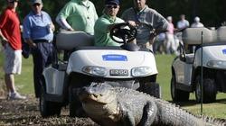 Clip: Cá sấu khủng bất ngờ xông vào sân golf