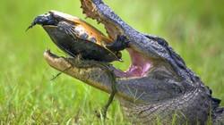 Hàm cá sấu chào thua... mai rùa