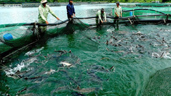 Cá nước lạnh nhập lậu hại cá nội