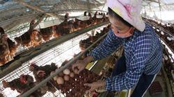 Đằng sau đợt tăng giá trứng: 90% gà giống do công ty ngoại cung cấp