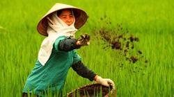 Bón phân thúc NPK Văn Điển cho lúa đẻ nhánh