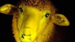 Cừu phát sáng ở Uruguay