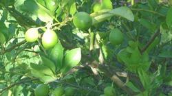 Phục tráng giống cam chanh đặc sản Ninh Giang
