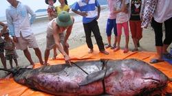 Cá voi 300kg mắc cạn tại bờ biển Hà Tĩnh